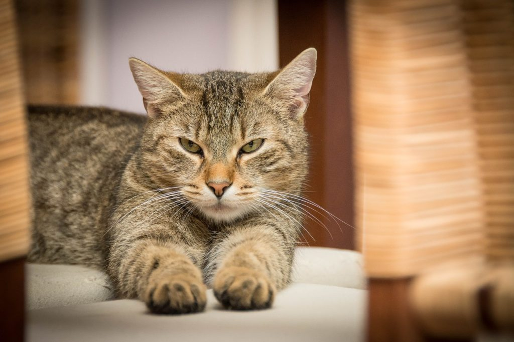 domestic-cat-726989_1280